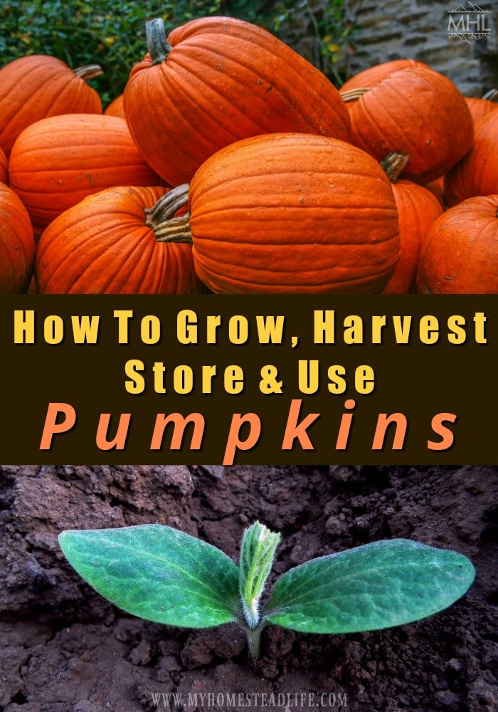 growing-pumpkins-harvesting