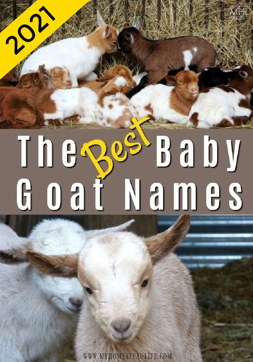 best-names-for-your-goat-herd