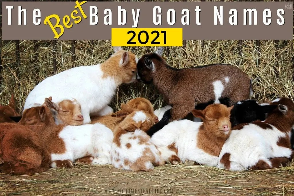 baby-goat-name-suggestions-for-your-herd