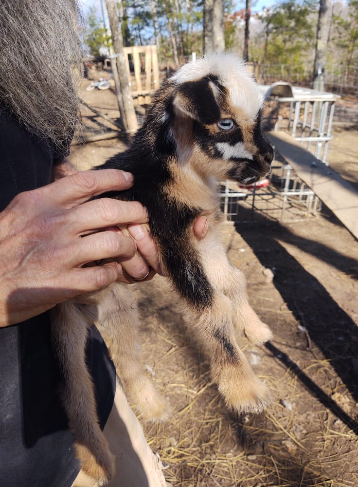 nigerian-dwarf-goat