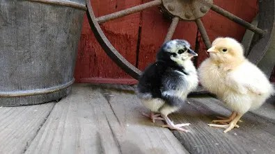 baby-chickens