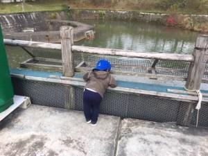 鯉の池を覗く男児