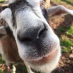 ヤギの顔のアップ