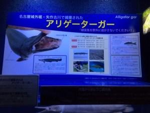 碧南海浜水族館展示のアリゲーターガー