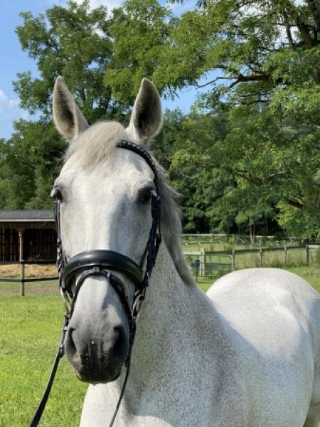 Black And White Horses For Sale : black, white, horses, Horses, MyHorseForSale