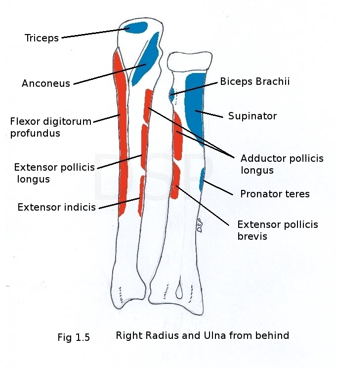 Image result for radius muscle attachments
