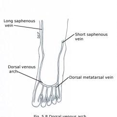 Veins In The Foot Diagram Intermatic Wiring Front Of Leg And Dorsum Myhumananatomy