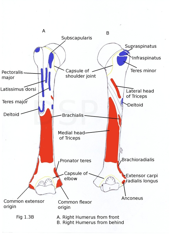 Image result for humerus muscle attachments