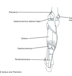 nerve supply it receives nerve supply from tibial nerve action plantar flexion of foot at ankle joint help in action of gastrocnemius  [ 1044 x 800 Pixel ]