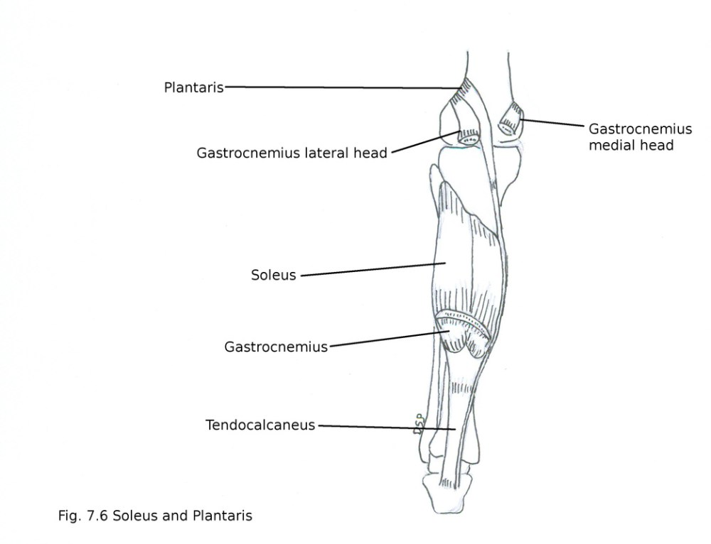 medium resolution of nerve supply it receives nerve supply from tibial nerve action plantar flexion of foot at ankle joint help in action of gastrocnemius