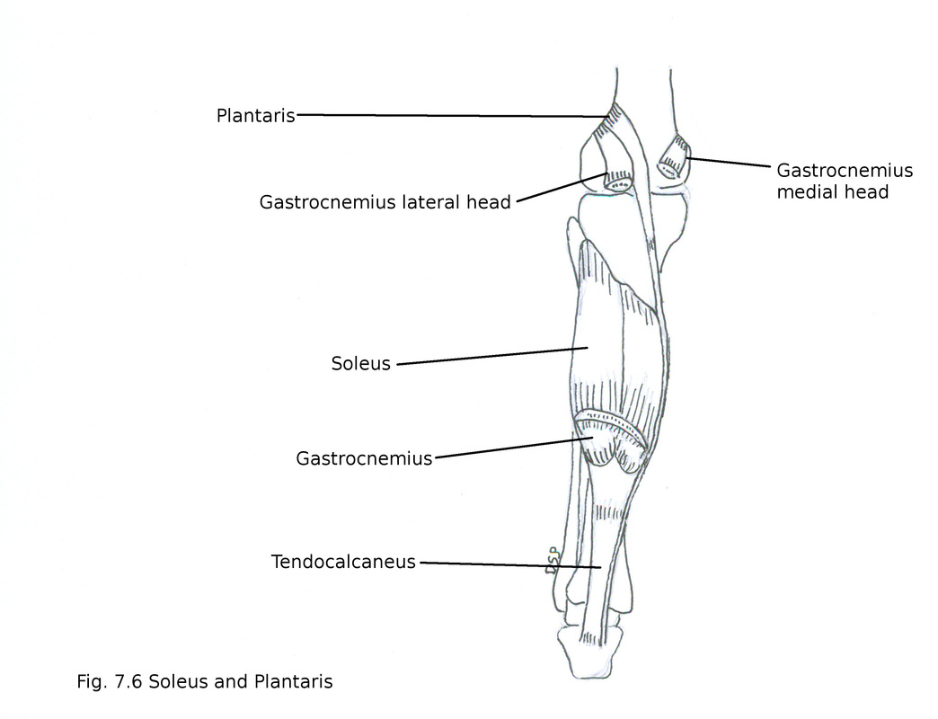 hight resolution of nerve supply it receives nerve supply from tibial nerve action plantar flexion of foot at ankle joint help in action of gastrocnemius