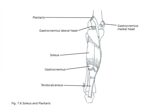 small resolution of nerve supply it receives nerve supply from tibial nerve action plantar flexion of foot at ankle joint help in action of gastrocnemius