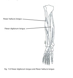 nerve supply it receives nerve supply from tibial nerve l5 s1 s2 action plantar flexion of great toe plantar flexion of ankle  [ 1032 x 800 Pixel ]