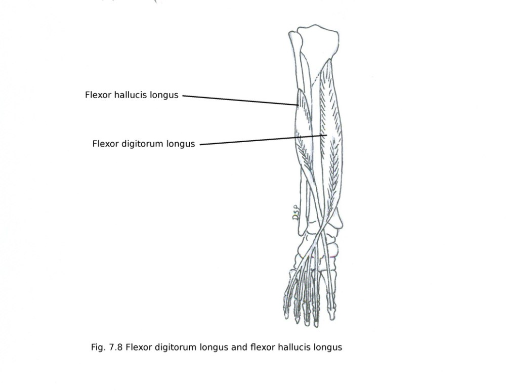 medium resolution of nerve supply it receives nerve supply from tibial nerve l5 s1 s2 action plantar flexion of great toe plantar flexion of ankle