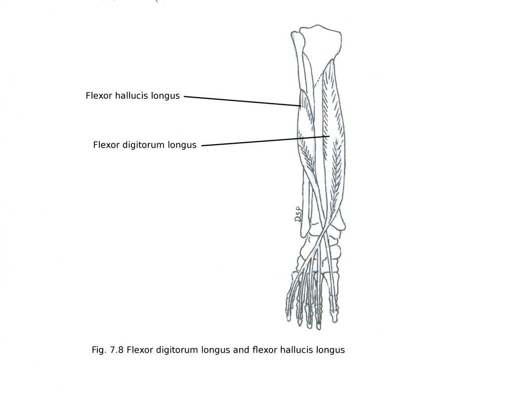hight resolution of nerve supply it receives nerve supply from tibial nerve l5 s1 s2 action plantar flexion of great toe plantar flexion of ankle