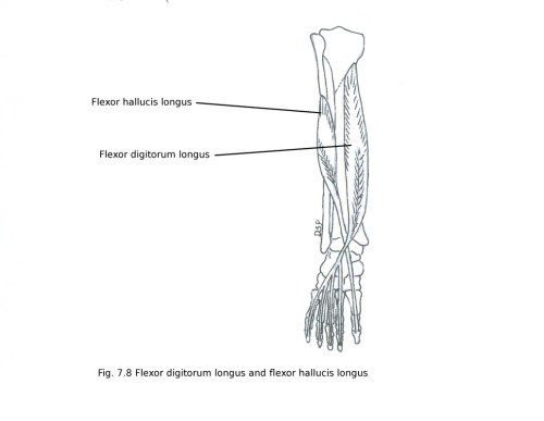 small resolution of nerve supply it receives nerve supply from tibial nerve l5 s1 s2 action plantar flexion of great toe plantar flexion of ankle