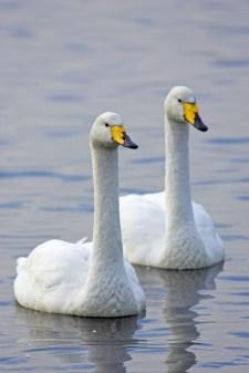 Whooper swan Cygnus cygnus, pair swimming, Martin Mere Wildfowl and Wetlands Trust, Lancashire
