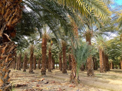 Image result for imperial valley date farm