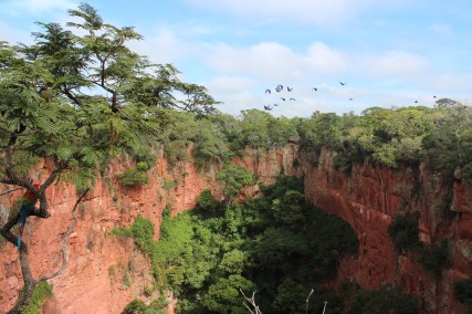 Macaws flying around their home
