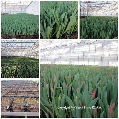 Tulips at Various Growth Stages in Vanco Greenhouse