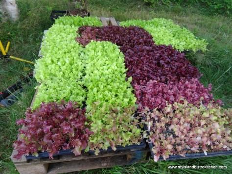Lettuce Plants Ready for Transplanting Outside