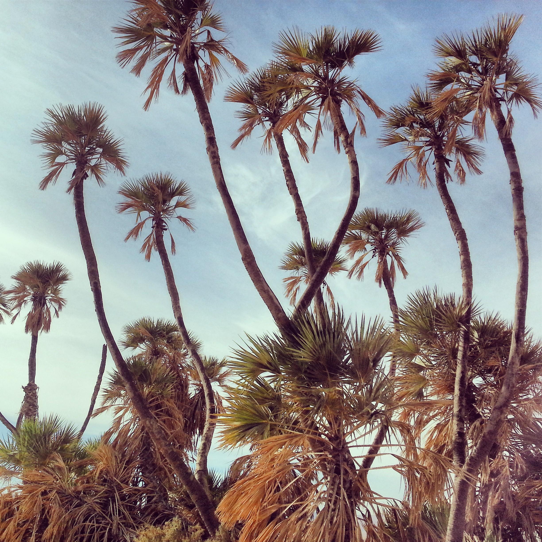 Doum Palms in the Arava
