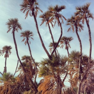 Doum Palms in the Arava