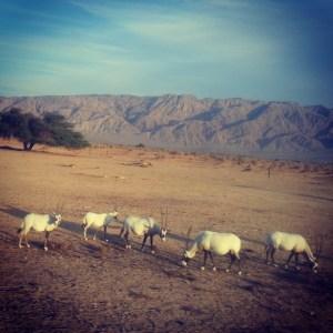 Safari in the Chai Bar: roaming Oryxes