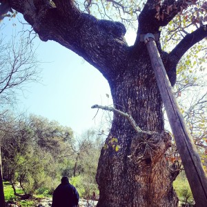 The Oldest Mt Tavor Oak in Israel!