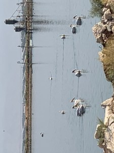 Migrating pelicans in the fish pools located in the Park of Springs in Northern Israel