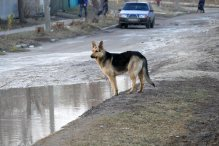 Овчарка на улице Капитана Орлова