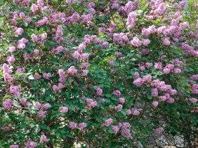 Пышное цветение серени