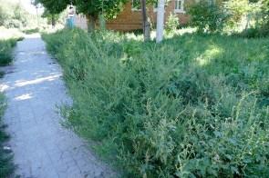 Пыльца амброзии вызывает сенную лихорадку. Амброзия полыннолистная — один из наиболее опасных сорняков-аллергенов