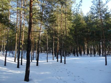 Зимний сосновый бор в черте города Изюма