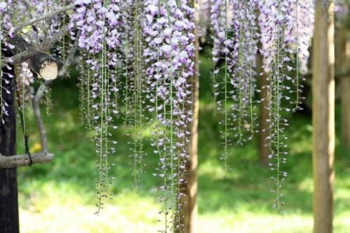 Fuji_wisteria