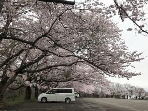 三国成田山の桜