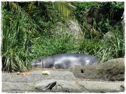 Sleepy Pygmy Hippopotamus