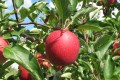 Falling for apples