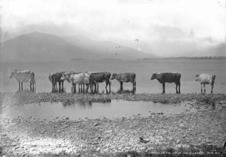 Cows on the Lower Lake, Killarney