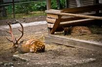 2012-07-22 - Priamursky Zoosad - Ciervos Dormidos