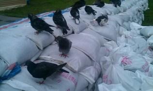 Las palomas también se refugian - Doves also look for refuge