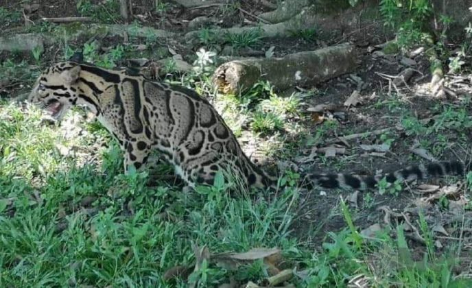 Harimau dahan tercekik berkeliaran di kawasan kampung