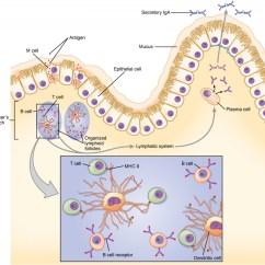 Immune System Diagram Signal Stat 900 6 Wire Wiring 2 Medicinal Mushrooms Fight Cancer Mechanisms Myko San