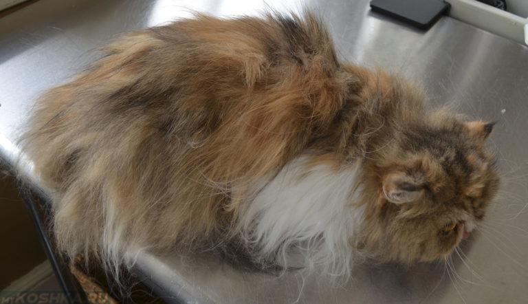 Бычий цепень у кошек симптомы и лечение. Симптомы и лечение огуречного цепня или дипилидиоза у кошек
