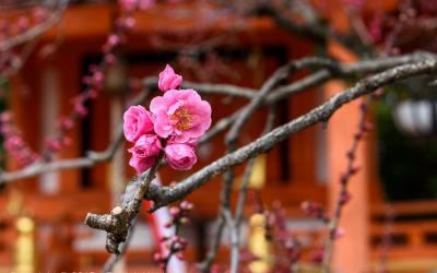 Plum blossoms at the Kitano Tenmangu Shrine