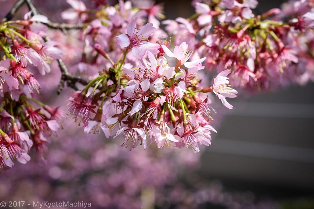 170329_Kyoto-Chotokuji-Cherry_Blossom-500692