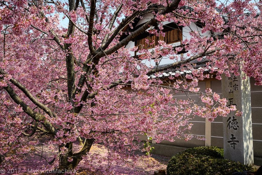 170329_Kyoto-Chotokuji-Cherry_Blossom-500724
