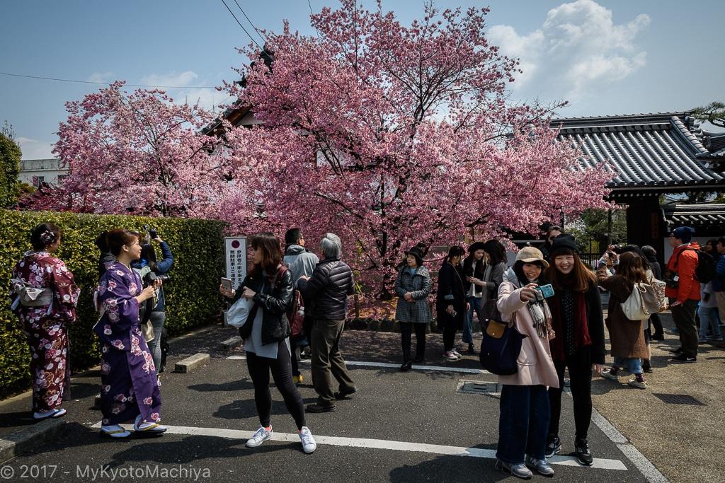 170329_Kyoto-Chotokuji-Cherry_Blossom-500730