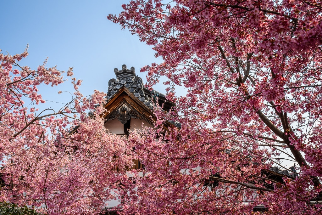 The Omake Cherry in front of the Chotokuji Temple in full blossom