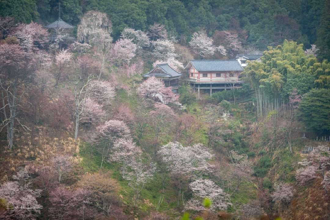 Mountain of cherry blossom, Yoshino